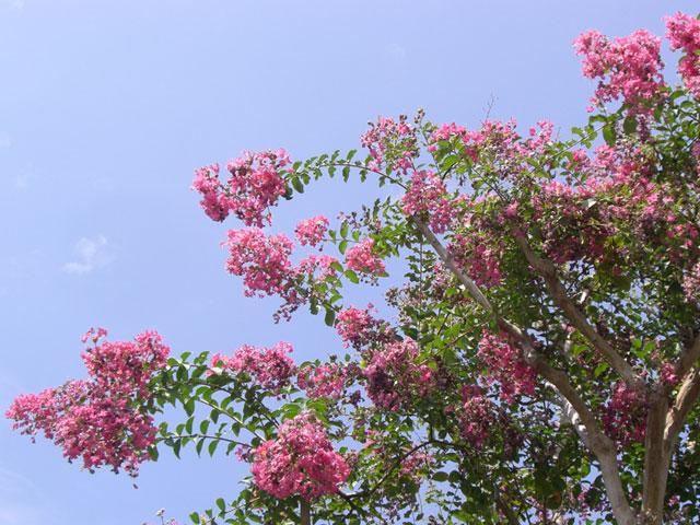 サルスベリの画像 p1_34