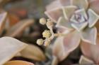 多肉植物の花 (1)
