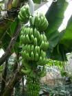 バナナ (1)