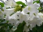 清明花 (1)