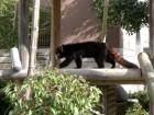 レッサーパンダ (1)
