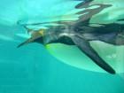 キングペンギン (1)