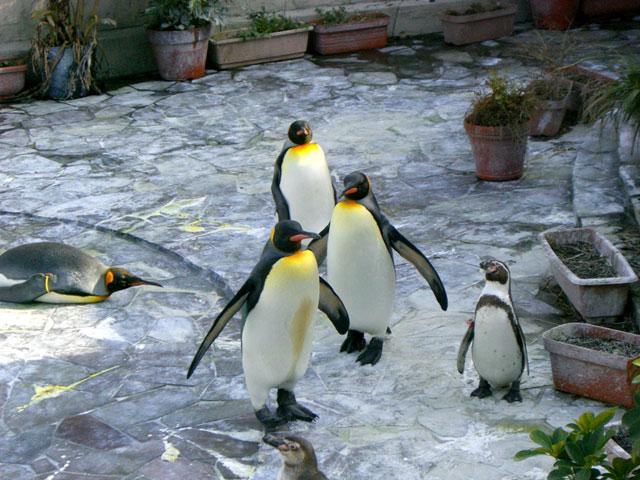 キングペンギン