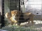 ライオン (1)