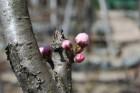 桜のつぼみ (1)
