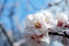 あんずの花 (1)