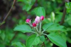 姫リンゴの花 (1)