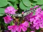 アゲハ蝶 (1)