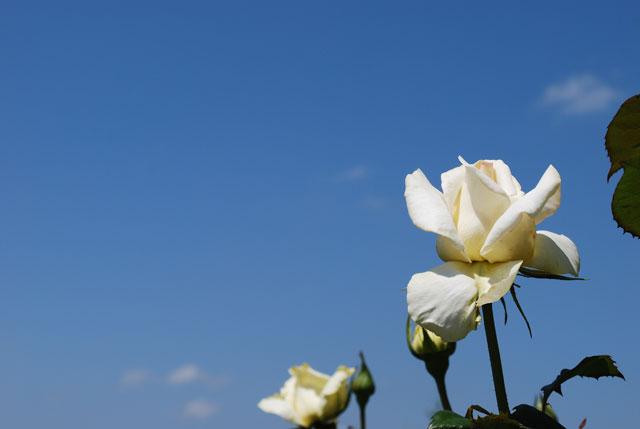 青空と白いバラ