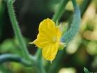 きゅうりの花 (1)