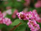 蕎麦の花 (1)