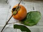 渋柿 (1)