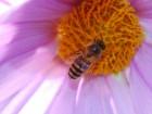 ミツバチ (1)